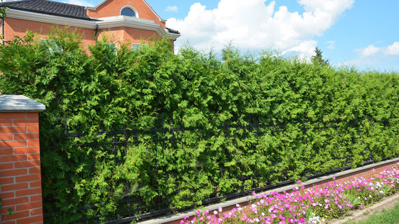 Die ideale Heckenpflanze für individuelle Gärten