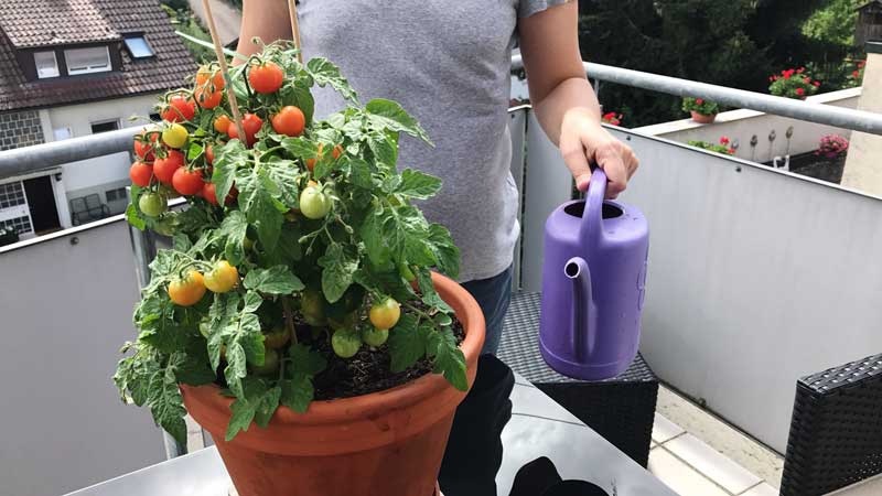 Balkon-tomaten